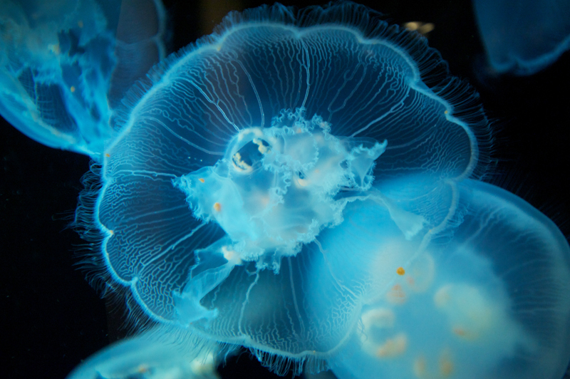 bioluminscent jellyfish