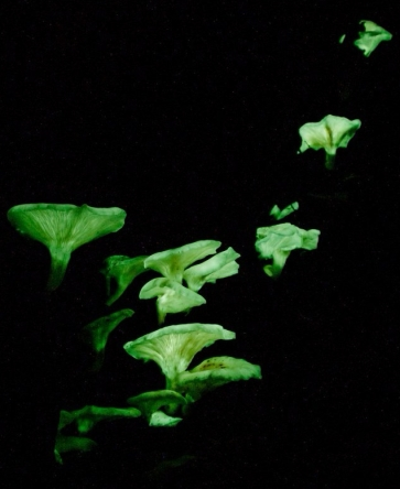 bioluminscent mushrooms in the dark