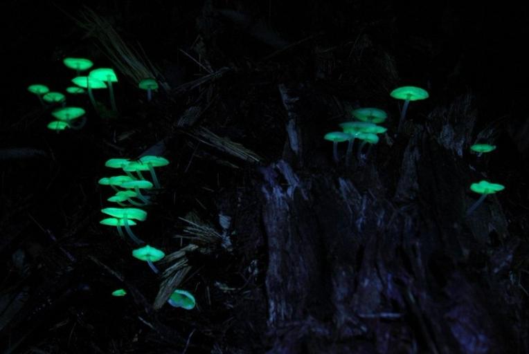 bioluminescent fungi mycena chlorophos
