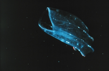 bioluminscent jellyfish in ocean