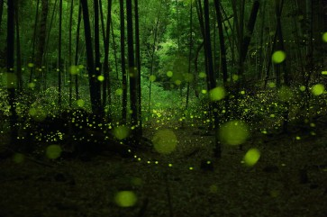 fireflies-in-the-forests-of-nagoya-city