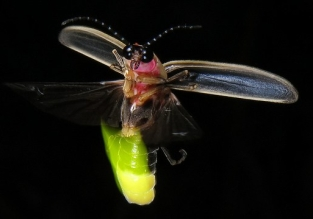 bioluminescent firefly up close micro