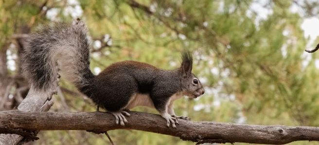 Abert's Squirrel profile on tree branch